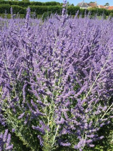french-lavender